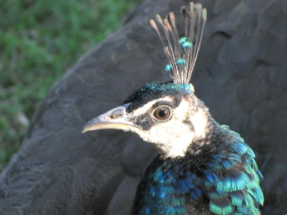 """""""Guinea fowl"""""""