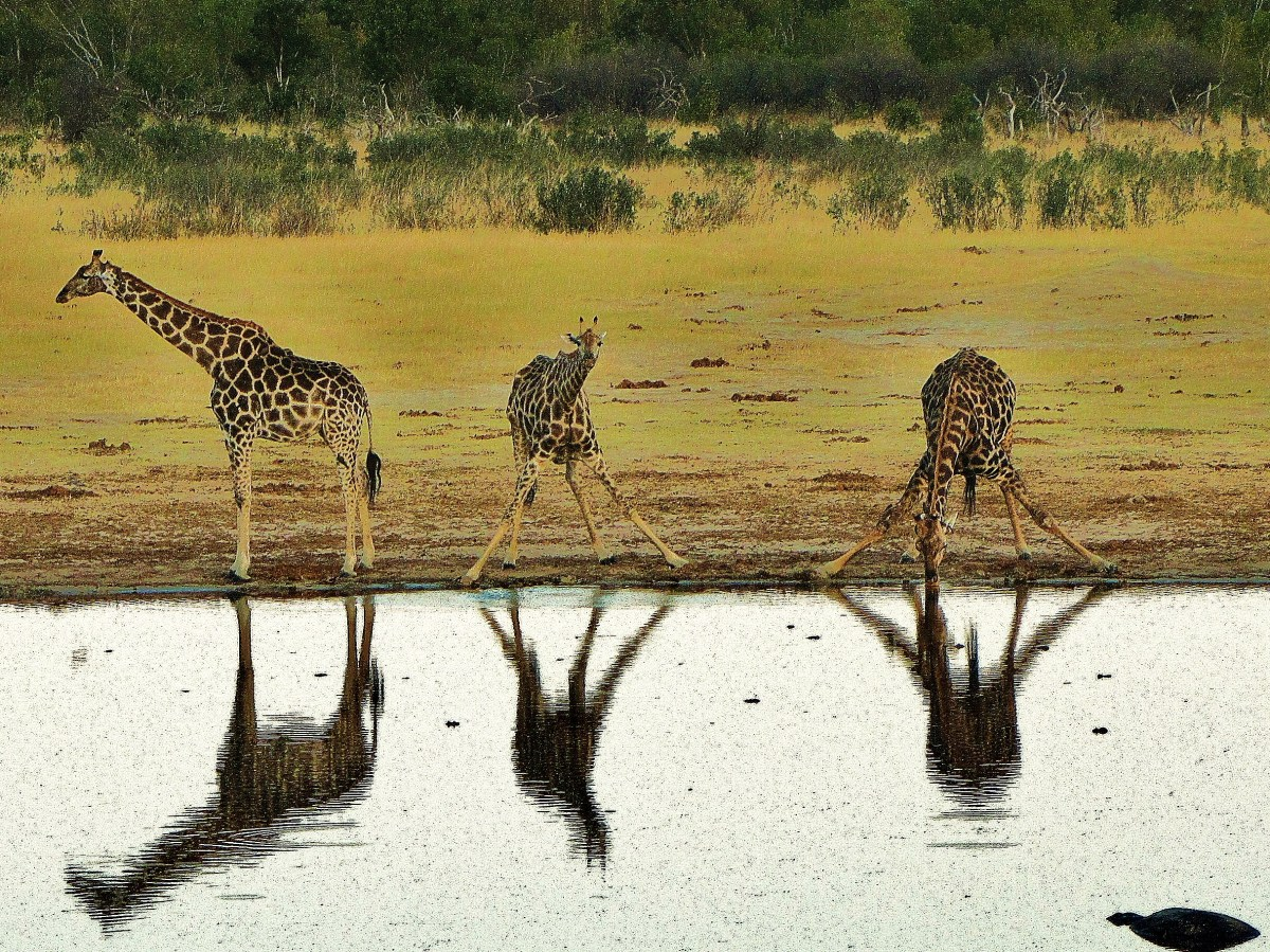 """""""Reflections of Giraffes in the Water"""""""