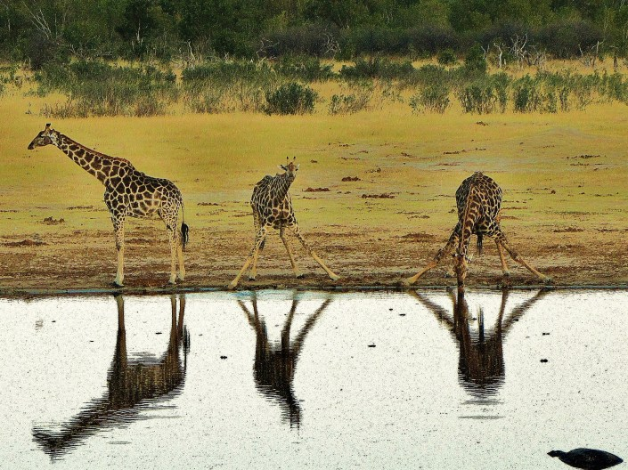 """Reflections of Giraffes in the Water"""