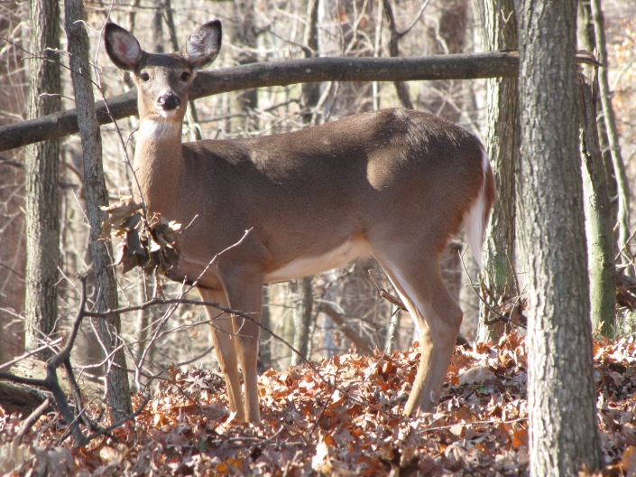 As winter approaches, the deer come out of the deep forest looking for food.