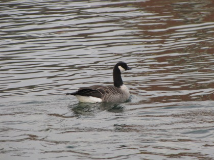A goose swimming in blue water.