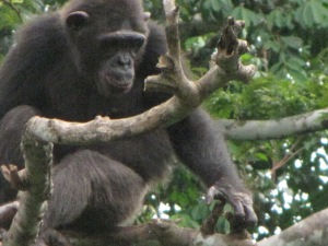 Chimpanzee at primate sanctuary south of Yaounde.