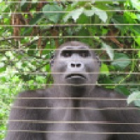 Cameroon's Primate Sanctuary Attempts to Prevent Extinction of Apes