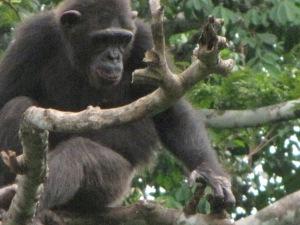 A chimpanzee at the primate sanctuary located southeast of Yaoundé.