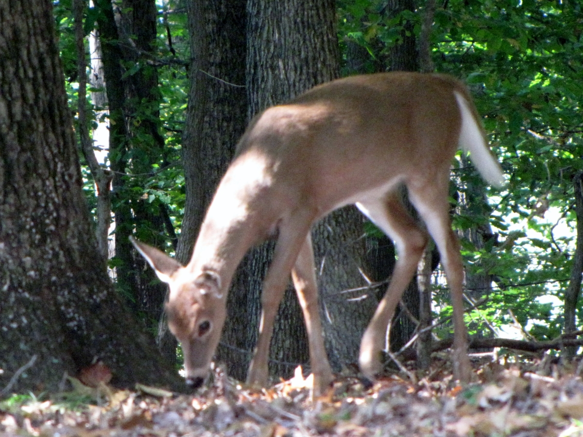 Whitetail deer having breakfast