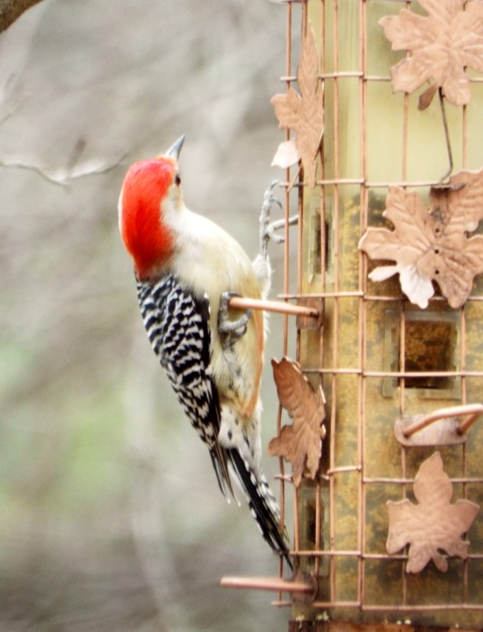 This arrogant pose by a redheaded woodpecker, after having chased all the other birds away, is almost human in its gesture of triumph.